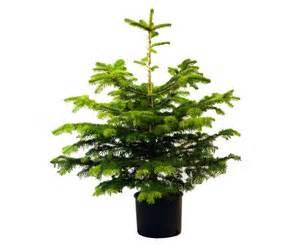 potted christmas trees living christmas trees the