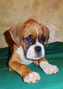 boxer colors fawn colored boxers are a solid color and can be light or