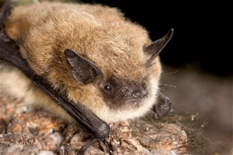 bat species lava beds national monument  national
