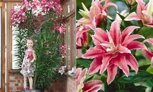 lilies or lillies botanists create a tree lily that grows up to 8ft tall