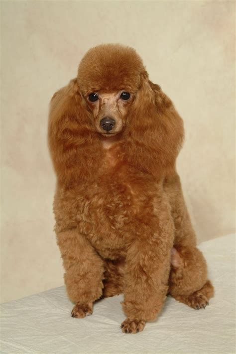 poodle hairstyles pictures 121 best images about poodle cuts clips styles on