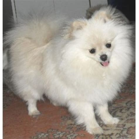 pomeranian rescue tx pomeranian breeders in page 1 freedoglistings