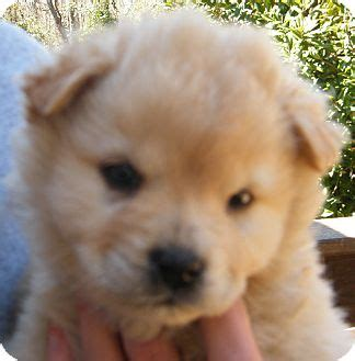 golden retriever chow mix for sale golden retriever puppies for sale in nh rachael edwards