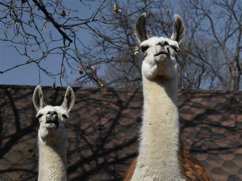 picture wild llama wildlife animal alpaca neck head nature