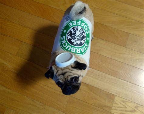 pug starbucks costume pug starbucks coffee lol