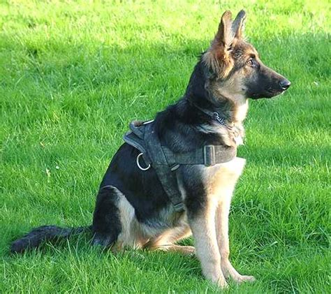 where to get a german shepherd puppy all weather harness for tracking pulling designed to fit german shepherd h6