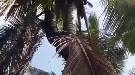 Hiasan Kue Kelapa Dua Cabang unik ada pohon kelapa bercabang dua di mitra tribun