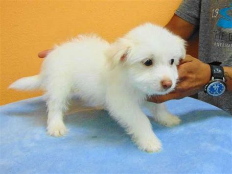 pomeranian husky mix for sale los angeles pomeranian chihuahua mix los angeles pico rivera dogs puppies for sale puppies