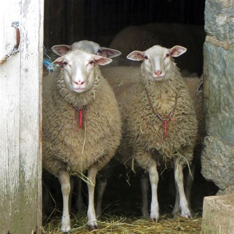 Types Of Hair Sheep by Best Sheep Breeds For Homesteaders Homesteading And