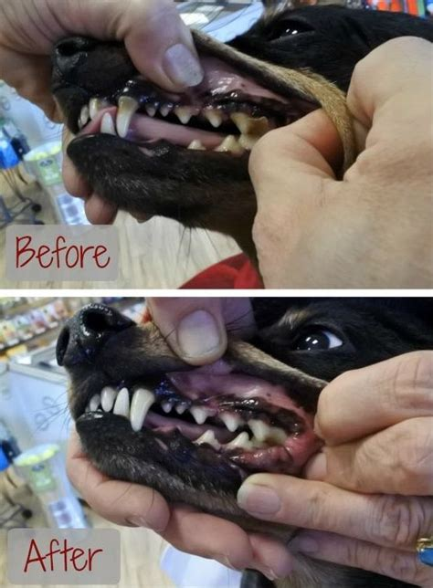 cleaning dogs teeth cleaning your s teeth without anesthesia thatmutt