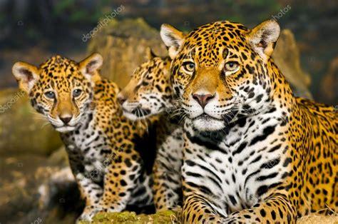 imagenes del jaguar con sus crias cubs de jaguar photographie kwiktor 169 20613907