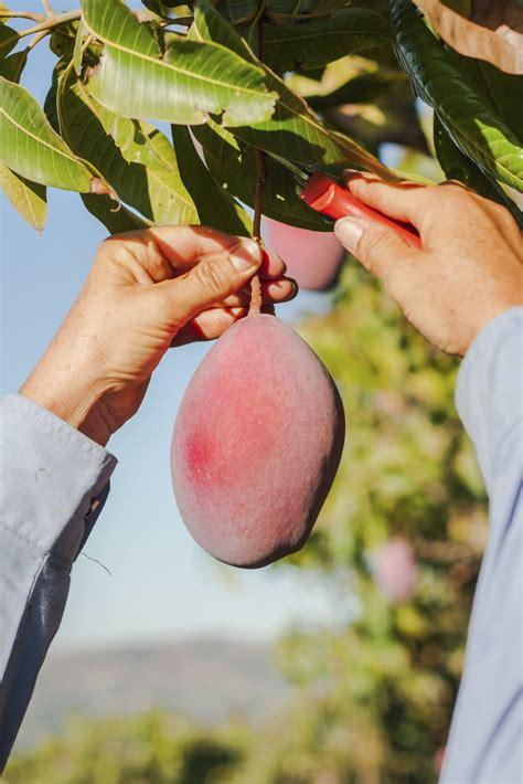 pick  mangos tips  harvesting mangos
