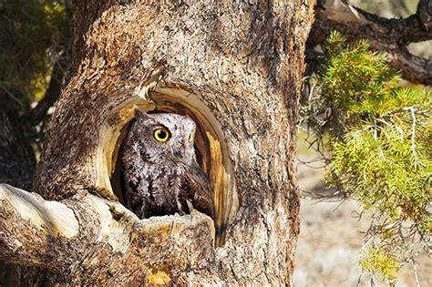 western screech owl earth rangers wire