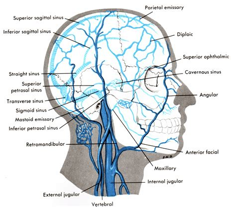 diagram of the sinuses sinus diagram best free home design idea inspiration