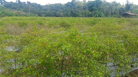 Benih Cabai rawan bawa penyakit impor benih ancam pangan negeri