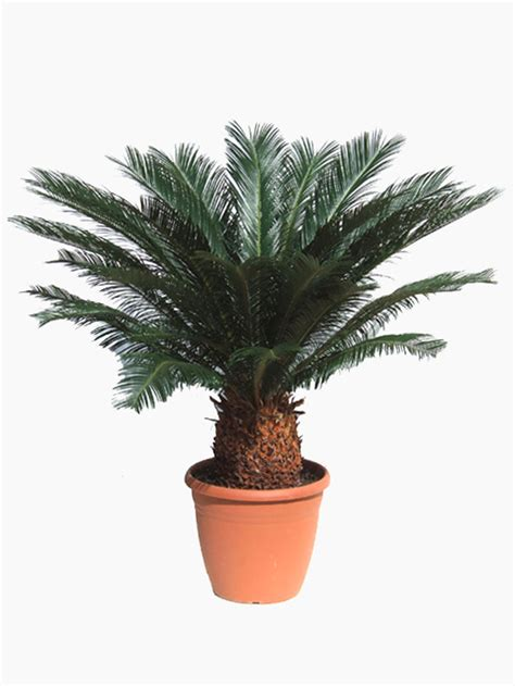 sago palm for sale cycas revoluta sago palm for sale buy now