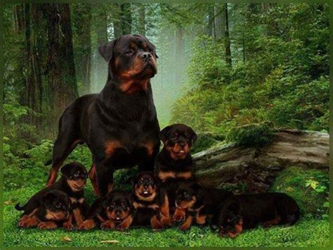rottweiler as family rottweiler family for the of dogs