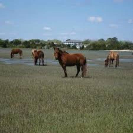 beaufort boat tours the horses grazing on carrot island picture of beaufort