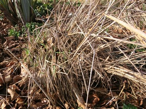 ornamental grasses tidy up now for strong plants in the year ahead