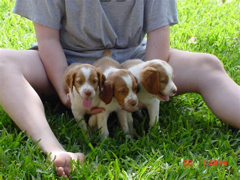 free puppies raleigh nc spaniel puppies for sale in nc website of duqeeddy