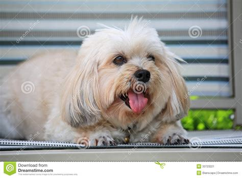 how to my shih tzu puppy to sit shih tzu puppy sitting to relax stock image image 33723221