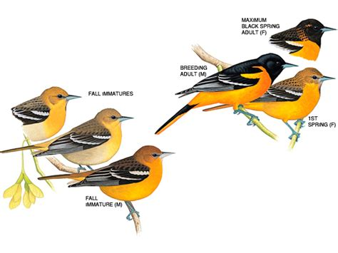 how to attract baltimore orioles birds choice