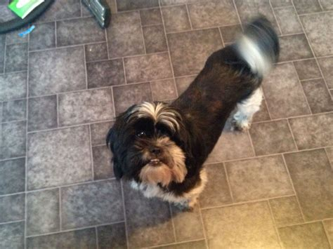 black and white shih tzu for sale black and white shih tzu for sale hull east of pets4homes