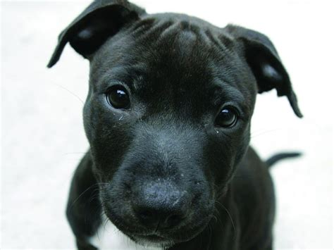 cute puppy  staffordshire bull terrier widescreen