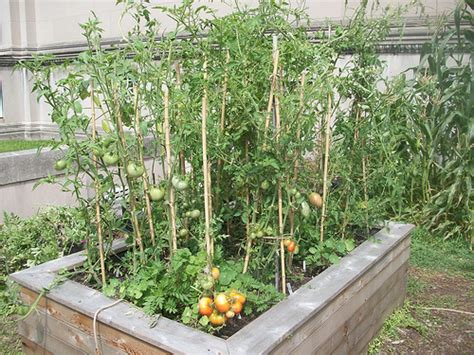 Square Foot Gardening Tomatoes by Photo