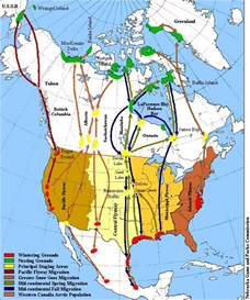 canada goose migration map the geese were heading to grounds in the