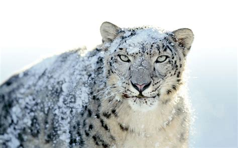 wallpaper apple snow leopard snow leopard wallpapers wallpaper cave