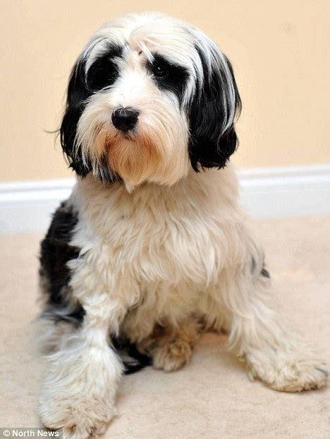 haircuts for tibetan terriers haircuts for terrier mix newhairstylesformen2014 com