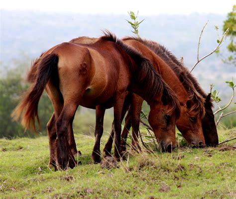 Kuda Liar Khas Sumbawa kuda liar doping dari sumbawa