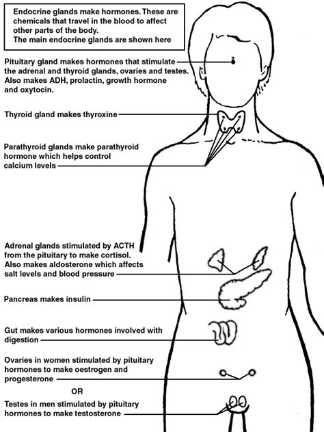 Human Hormones Worksheet by Endocrine System Diagram Worksheet