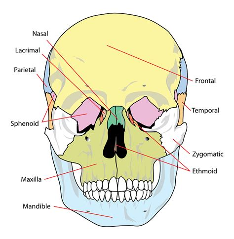 skull diagram free vector graphic skull diagram labelled human