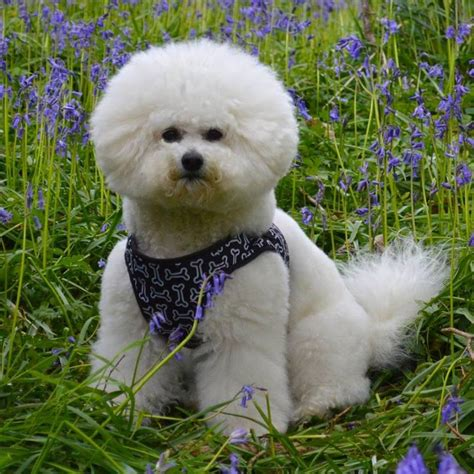bichon havanese dogs 101 10 interesting bichon frise facts dogs 101 bichonfrise animal facts