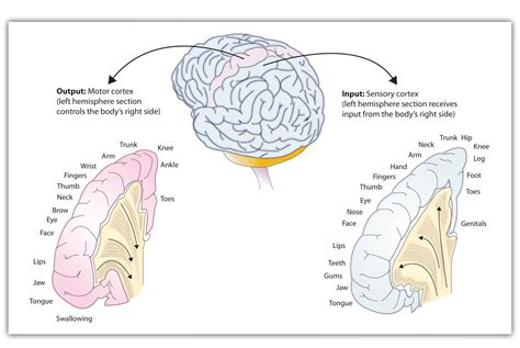 public area in body parts 3 2 our brains control our thoughts feelings and