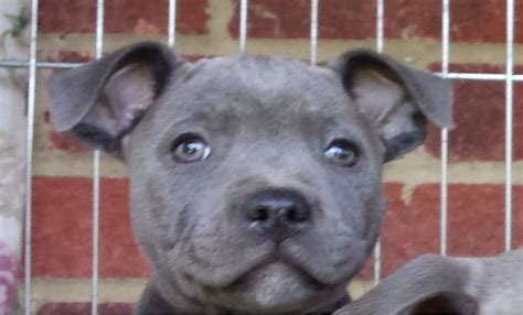 staffy puppies for sale american staffordshire terrier puppies for sale breeds picture
