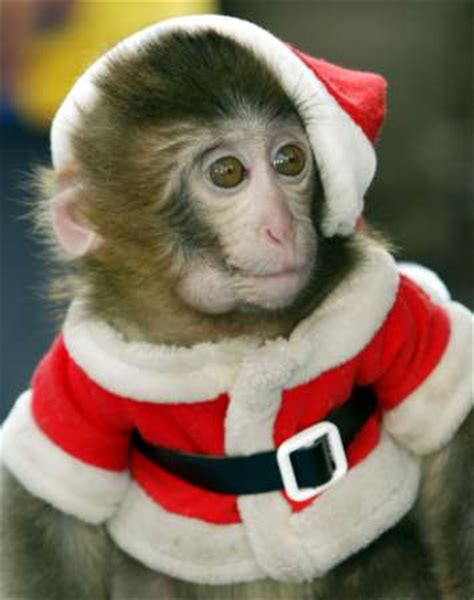 monkey santa as luka magnotta is convicted questions about his