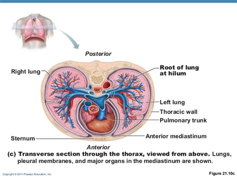 transverse section of lungs respiratory anat online