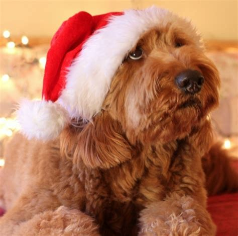 merry puppy santa doodle goldendoodle merry card puppy dogs santa claus