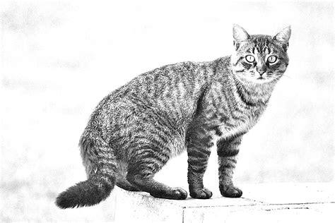 B W Sketches by Brown Tabby Cat B W Pencil Sketch 002 Brown Tabby Cat