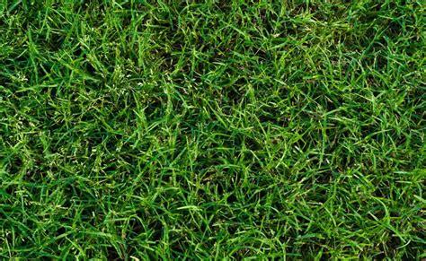 zoysia vs bermuda zoysia vs bermuda grass www imgarcade image