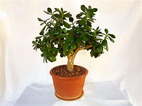 jade plant lucky plant money tree crassula ovata