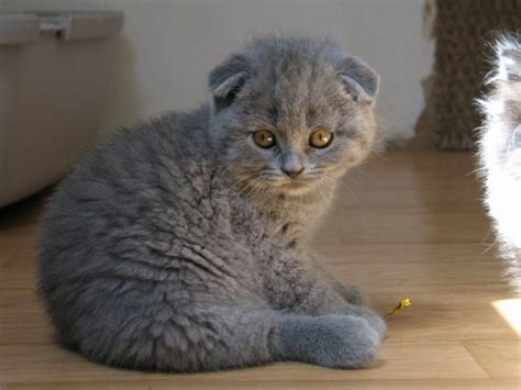 8 Things You Didn?t Know About Scottish Folds (QUIZ)