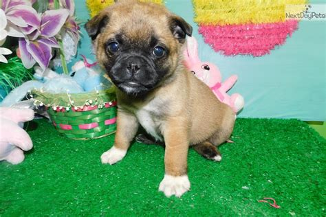 pug breeders near chicago pug mix pug puppy for sale near chicago illinois 343e3d7c bdb1