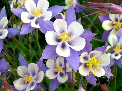 columbine flower wallpaper latest hd wallpapers