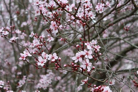 cherry plum tree flickr photo sharing