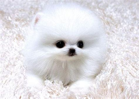 teacup pomeranians puppies for sale teacup pomeranian puppies for sale in colorado zoe fans baby animals