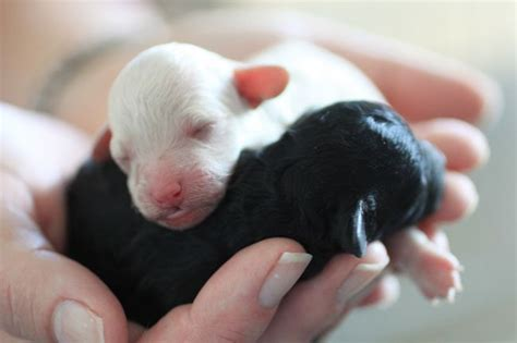 my just had puppies 137 best images about dogs poodle on